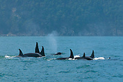 Several members of the Orca (Orcinus Orca) family J Pod surface together to breathe while sleeping off Blakely Island in Washington's Puget Sound. When sleeping, the whales, also known as killer whales, turn off the half of their brains that are not responsible for regulating breathing. During this time, they tend to cluster, swim slowly in circles, and surface together. The J Pod is one of three families of orcas that are regularly found in the waters around Washington's San Juan Islands.