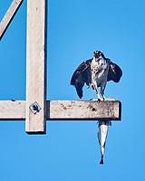 Osprey (Pandion haliaetus). Image taken with a Nikon 1 V3 camera and 70-300 mm VR lens.