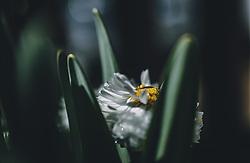 THEMENBILD - Wassertropfen auf einem Gänseblümchen, aufgenommen am 04. April 2020 in Kaprun, Oesterreich // waterdrops on a white and yellow blossom, in Kaprun, Austria on 2020/04/04. EXPA Pictures © 2020, PhotoCredit: EXPA/Stefanie Oberhauser