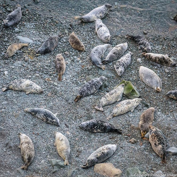 Grey Seals, Aber Felin, Pembrokeshire.