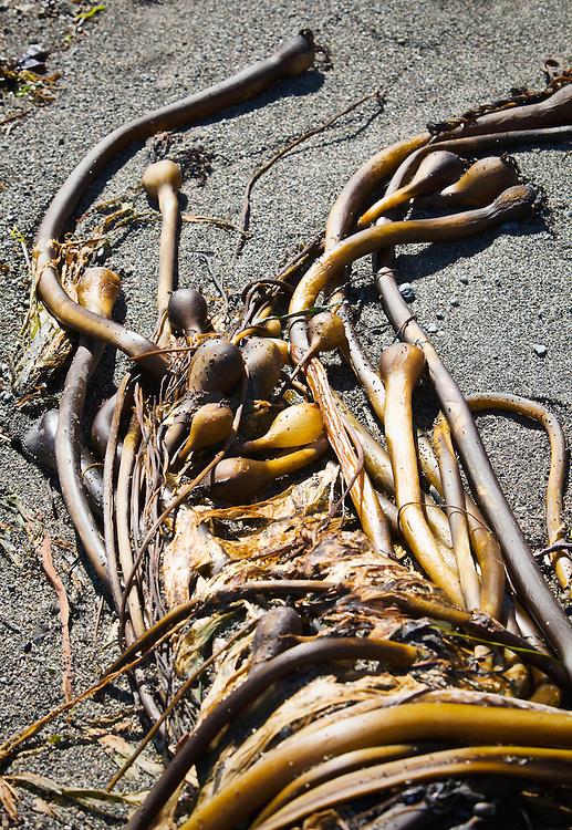 A mass of twisted Bull Kelp on a beach.  San Juan Island, Washington, USA.