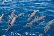 eastern spinner dolphins, Stenella longirostris orientalis, surfacing and exhaling, offshore from southern Costa Rica, Central America ( Eastern Pacific Ocean )
