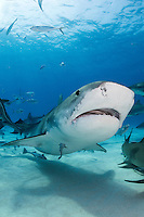 Lemon Sharks hang on the seafloor as a Tiger Shark passes overhead.<br /> <br /> Shot in Bahamas