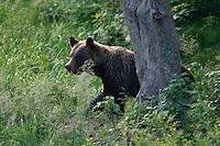Wild Brown Bear (Ursus arctos) in Bieszczady Mountains. Poland