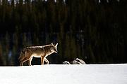Coyote, Banff National Park, Alberta, Canada