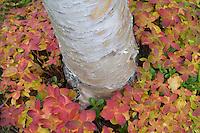 Silver birch (Betula pendula) in sea of dwarf cornel (Cornus suecica) in autumn, Sarek National Park, Laponia World Heritage Site, Sweden