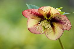 Helleborus x hybridus Ashwood Garden hybrids - syn. Helleborus orientalis hort. Hellebore, Lenten rose