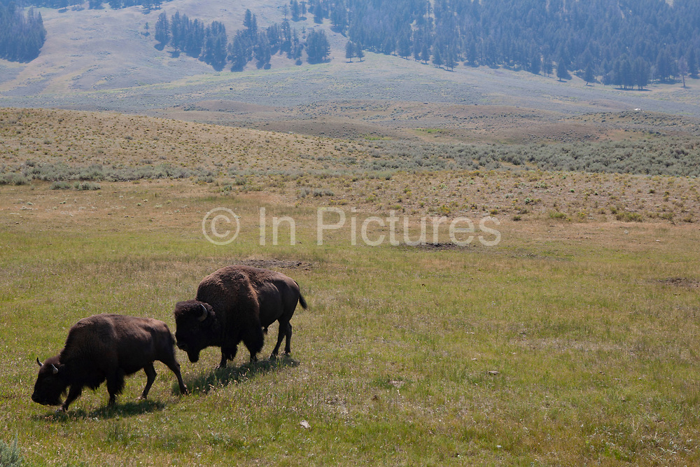 A bull Buffalo follows his cow in Yellowstone National Park. The bull rarely leaves her side and sticks very close if another male is close by. These animals were once indiginous to this part of North America but were wiped out by the greed of white men. Now the Buffalo has been reintroduced into the Park, and continues to thrive under protection.