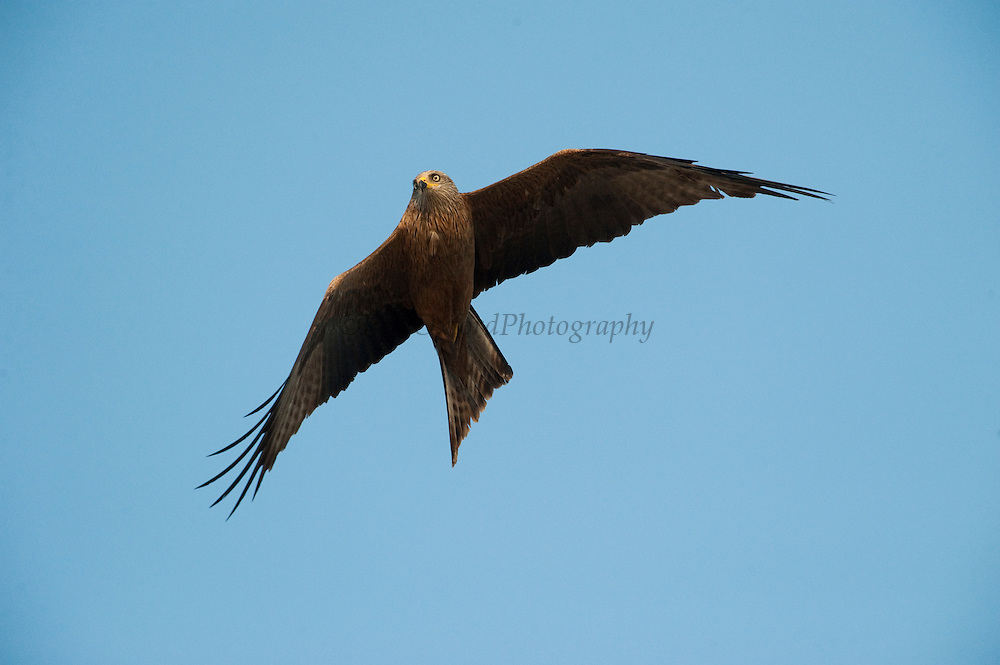 Black Kite (Milvus migrans)  A diurnal bird of prey that feeds of small mammals, bird and fish.<br /> RANGE: Temperate & tropical Eurasia & Australia.<br /> Doñana National & Natural Park. Huelva Province, Andalusia. SPAIN<br /> 1969 - Set up as a National Park<br /> 1981 - Biosphere Reserve<br /> 1982 - Wetland of International Importance, Ramsar<br /> 1985 - Special Protection Area for Birds<br /> 1994 - World Heritage Site, UNESCO.<br /> The marshlands in particular are a very important area for the migration, breeding and wintering of European and African birds. It is also an area of old cultures, traditions and human uses - most of which are still in existance.<br /> Mission: Iberian Lynx, May 2009<br /> © Pete Oxford / Wild Wonders of Europe<br /> Zaldumbide #506 y Toledo<br /> La Floresta, Quito. ECUADOR<br /> South America<br /> Tel: 593-2-2226958<br /> e-mail: pete@peteoxford.com<br /> www.peteoxford.com