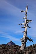 USA, Oregon, Mt. McKenzie Pass Scenic Byway, snag, lava, and Mt. Washington.