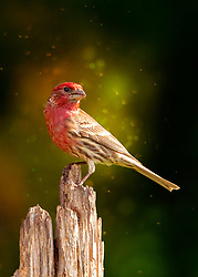 A Male House Finch On His Perch With Magical Evening Light