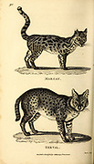 Margay and Serval from General zoology, or, Systematic natural history Part I, by Shaw, George, 1751-1813; Stephens, James Francis, 1792-1853; Heath, Charles, 1785-1848, engraver; Griffith, Mrs., engraver; Chappelow. Copperplate Printed in London in 1800. Probably the artists never saw a live specimen
