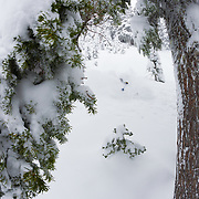 Owen Dudley skis the trees during the biggest storm of the season in the Mount Baker backcountry.