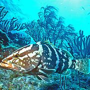 Nassau Grouper inhabit reefs in Tropical West Atlantic; picture taken Little Cayman.