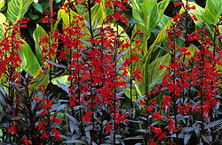 Lobelia 'Queen Victoria' with Canna 'Striata' in the Long Border at Great Dixter