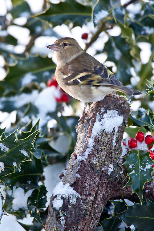 Chaffinch perches in holly bush during winter in The Cotswolds, UK