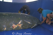 Animal Care staff at Sea World of Florida tube-feed a Florida manatee, Trichechus manatus latirostris, brought there for rehabilitation after being struck by a motorboat, Orlando, Florida, USA, North America