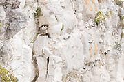 Peregrine (Falco peregrinus) with predated swift (Apus apus). Sussex, UK.