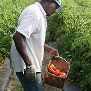 Farmworker picking tomatoes at a truck farm in Concord, MA