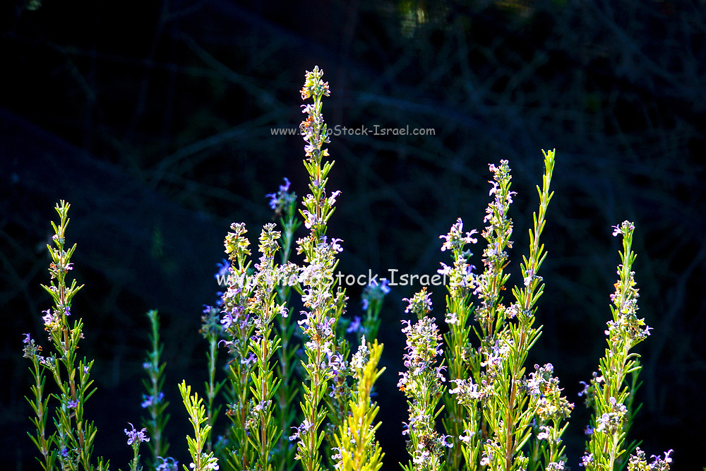 Flowering Lavender plant in a garden Photographed in Israel in November
