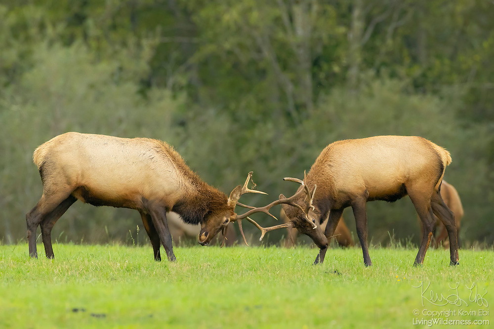 "Two bull elk (Cervus canadensis) spar in the field at Meadowbrook Farm, a park in North Bend, Washington. Elk, which are related to deer, are also known as wapiti, a Native American word that means ""light-colored deer."" Elk lose their antlers in the early spring, but grow them back over the summer in time for the fall rut."