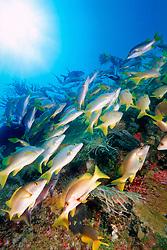 schoolmasters, Lutjanus apodus, .Benwood, Key Largo, Florida Keys NMS, .Florida (Atlantic).