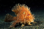 Frogfish | Anglerfisch