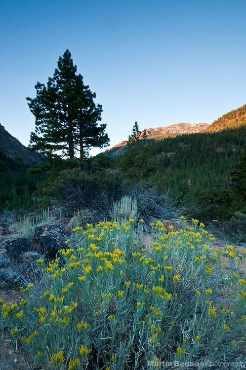 Morning alpenglow lights a mountain peak behind rubber rabbitbrush (Chysothamnus nauseosus) in the Eastern Sierra Nevada, Toiyabe National Forest, California