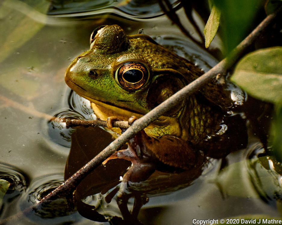 Kermit and his brothers and cousins in the pond after a thunderstorm. Image taken with a Nikon N1V3 camera and 70-300 mm VR lens