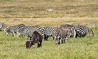 Grant's Zebras, Equus quagga boehmi, and Wildebeest, Connochaetes taurinus, in Ngorongoro Crater, Ngorongoro Conservation Area, Tanzania