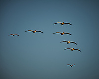 Five American White Pelicans and two Roseate Spoonbills flying in formation. Early morning at Biolab Road in Merritt Island National Wildlife Refuge. Image taken with a Nikon D700 camera and 18-300mm VR lens (ISO 200, 300 mm, f/11, 1/500 sec).