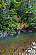 Fall colors from Vine Maples along the Ohanapecosh River at the Grove of the Patriarchs in Mount Rainier National Park, Washington State, USA
