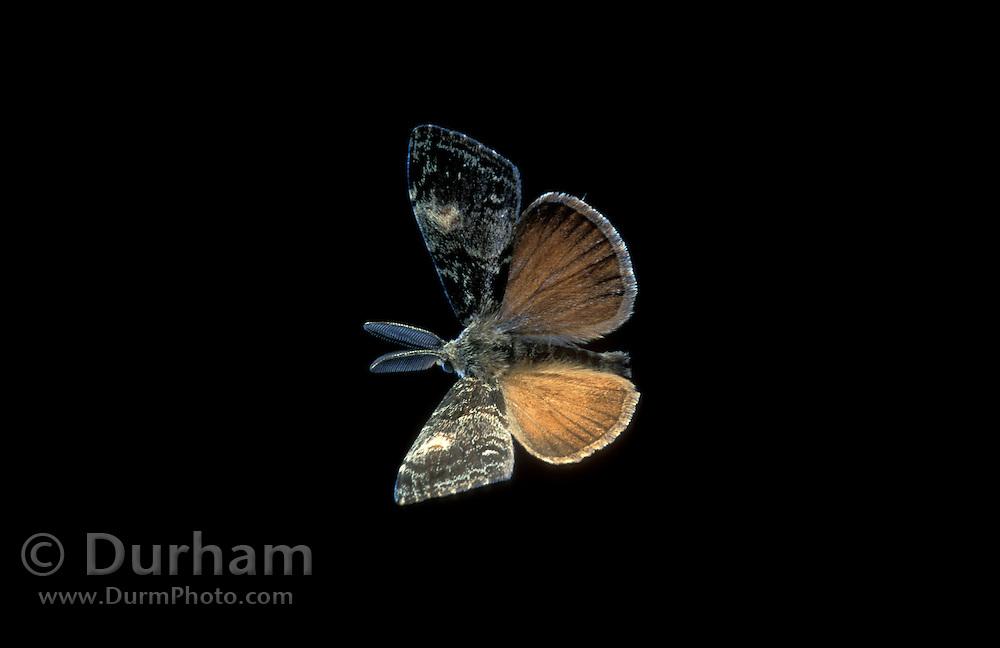 Male douglas-fir tussock moth (Orgyia pseudotsugata) flying at night, Dechutes National Forest, Oregon. Summer 2001.