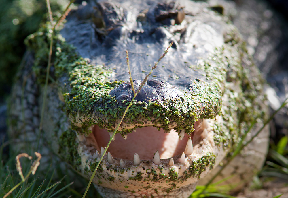 A 7-foot alligator protects its territory –possibly a mother protecting her nest –beside the Ibis Pond at Pinckney Island.