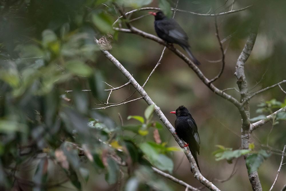 Black bulbul, Hypsipetes leucocephalus, Yushan National Park, Taiwan