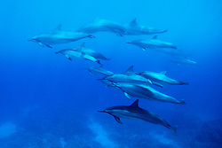 Long-snouted Spinner Dolphins, Stenella longirostris, Hawaii, Pacific Ocean