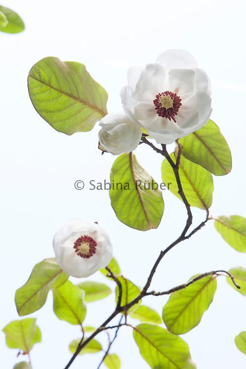 Magnolia sinensis
