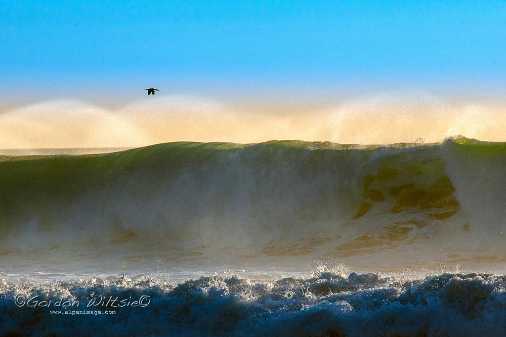 A cormorant flies over large breaking waves on the California coast near San Francisco.