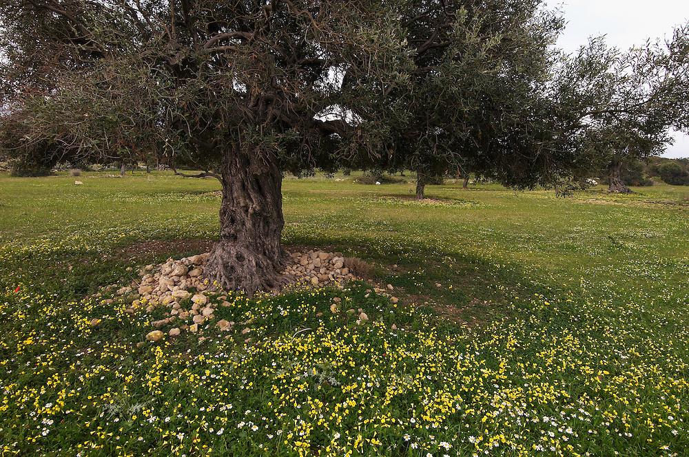 An old Olive tree (Olea europaea), Northern Cyprus