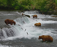 Grizzly bears are not social animals, but for a few weeks in the summer they gather around a series of waterfalls in Katmai National Park to partake in a spectacular feast of running sockeye salmon.