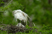 Great Egret Preening