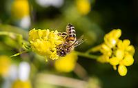 HALFWEG -  Europese HoningbijApis mellifera . Wilde bloemen op de baan van de   Amsterdamse Golf Club   COPYRIGHT KOEN SUYK