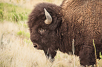 These Antelope Island bison have a distinct genetic heritage from all other bison in North America. They are potentially the most pure, in regards to the ancient populations that lived here up until Europeans first encountered them.