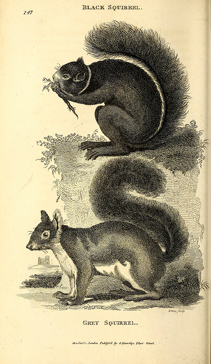 Black Squirrel and Grey Squirrels from General zoology, or, Systematic natural history Vol 2 Mammalia, by Shaw, George, 1751-1813; Stephens, James Francis, 1792-1853; Heath, Charles, 1785-1848, engraver; Griffith, Mrs., engraver; Chappelow. Copperplate Printed in London in 1801 by G. Kearsley
