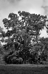 04 June 2014. Jean Lafitte National Historic Park, Louisiana.<br /> A cypress tress in the swamp at the Barataria Preserve wetlands south or New Orleans.<br /> Charlie Varley/varleypix.com