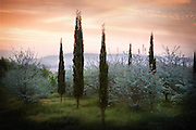 Cypress trees and olive blossoms in a field under a pastel sunrise in Tuscany Italy.