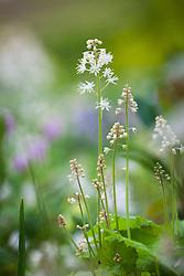 Tiarella cordifolia AGM