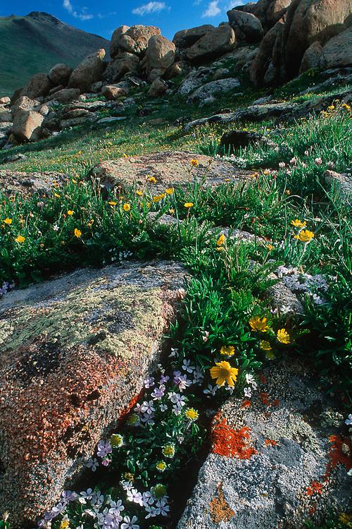 Alpine meadow near Trail Ridge, summer, Rocky Mountain National Park, Colorado, USA