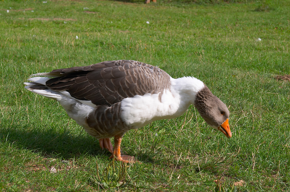 Geese on the lawn. The farm at Rashult where Linnaeus was born. Smaland region. Sweden, Europe.