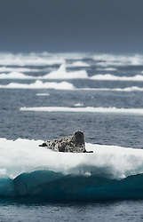 Hooded seal (Cystophora cristata), on ice, Svalbard